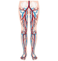Blood vessels in human being vector image vector image
