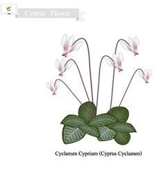 Cyclamen Cyprium The Popular Flower of Cyprus vector image vector image