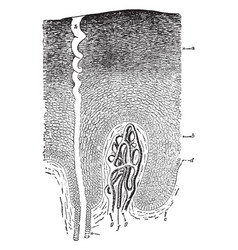 Epidermis and sweat gland vintage vector
