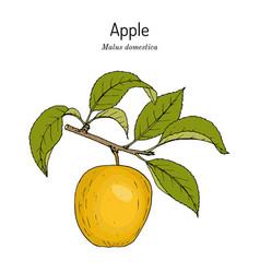 Apple fruit malus domestica edible plant vector