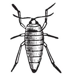 female wingless moth vintage vector image