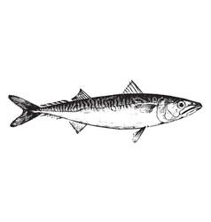Mackerel vintage vector