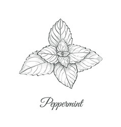peppermint skech hand drawing vector image