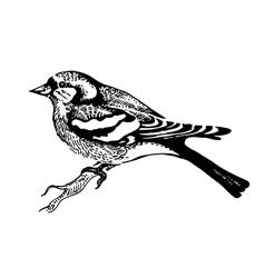 chaffinch bird hand-drawn vector image