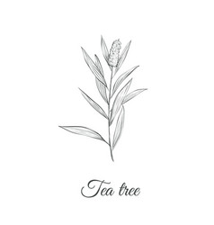 tea tree sketch branch vector image