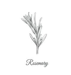 rosemary sketch hand drawing rosemary vector image vector image