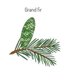 Great silver fir vector