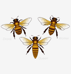 Set of three honey bees queen and worker and vector