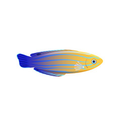 striped yellow and blue wrasse isolated on white vector image
