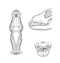 Veterinary teeth of the dog vector