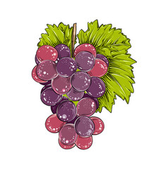 hand drawn sketch of grapes in color isolated on vector image