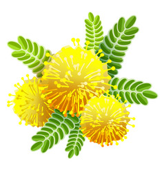 Yellow mimosa bouquet fluffy flower view from vector