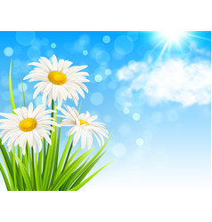 white daisy flowers and green grass vector image