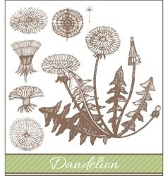 hand drawn dandelion vector image