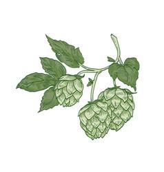 elegant botanical drawing of hop sprig green vector image