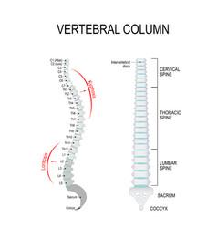 kyphosis amp lordosis vertebral column vector image