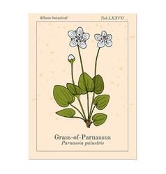 Marsh grass parnassus parnassia palustris vector