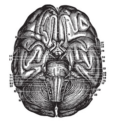 Base of brain and cerebellum vintage vector