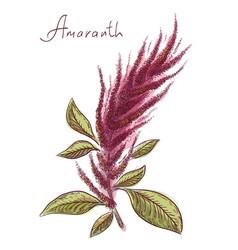Amaranthus or amaranth vector