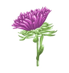 Beautiful purple aster isolated on white vector