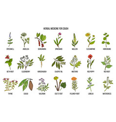 Natural herbs for cough remedies vector