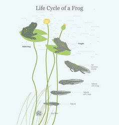 the life cycle of a frog vector image