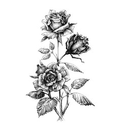 hand drawn rose etch style vector image