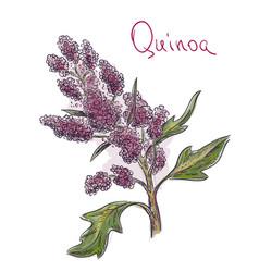 Quinoa chenopodium quinoa kinw vector
