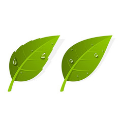 two green realistic leaves vector image