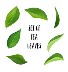 tea leaves with drops isolated on a white vector image