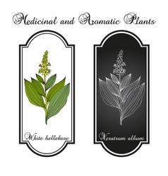 white hellebore veratrum album medicinal plant vector image