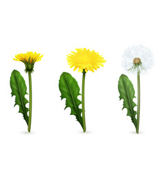 Dandelion in different stages of flowering set vector