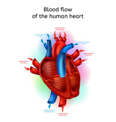 Blood flow in human heart realistic scheme vector