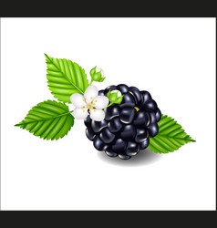 Composition of ripe blackberries flowers and vector