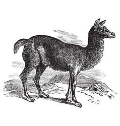 Alpaca vintage engraving vector image vector image