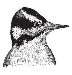 Hairy woodpecker vintage vector