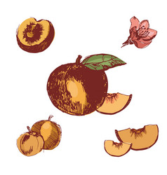 peach vintage ink hand drawn set of vector image
