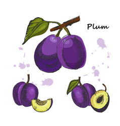 plum ink sketch of hand drawn plum vector image
