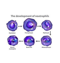 neutrophils vector image