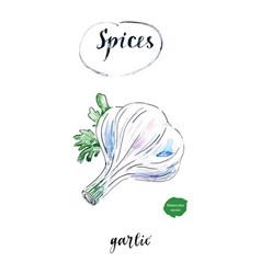 watercolor fresh bulb of garlic vector image