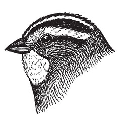 White throated sparrow vintage vector