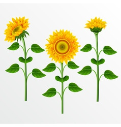 collection of yellow sunflowers on the white backg vector image vector image