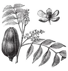 Mohagany vintage engraving vector