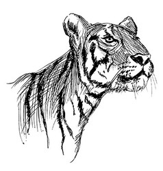 Hand sketch of a young tiger vector image vector image