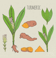 Turmeric medical botanical isolated vector