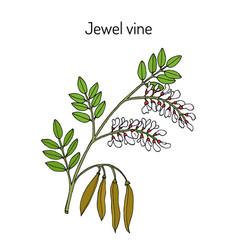 Jewel vine derris scandens medicinal plant vector