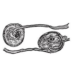 nerve cells from spinal ganglia vintage vector image