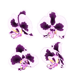 orchids phalaenopsis with spots purple and white vector image
