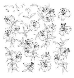 linear style set white lilies hand drawn vector image
