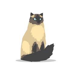 purebred long-haired birman cat with blue eyes vector image